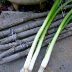 Bermuda Onion seeds