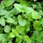 herb oregeno