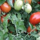Peasant tomato seeds
