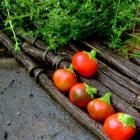 Heirloom Pepper Seeds Astara Open Pollinated