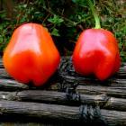 Capsicum baccatum pepper Conquistador