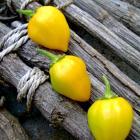Lagrimas Do Rio Pepper seeds Capsicum chinense