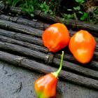 Tarabuco Pepper Capsicum baccatum seeds