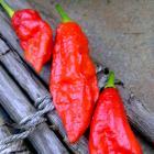 Bhut Jolokia Ghost Pepper Seeds