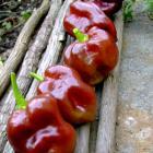Chocolate Congo Pepper Capsicum chinense