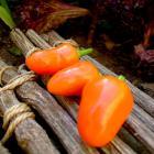 Erin's Orange Capsicum frutescens pepper seeds