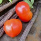 Red Jacket tomato seeds