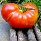 Ruffled Apple tomato seeds Jabucar So Mali Rebra