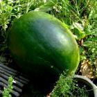 Verona Watermelon