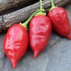 Wasp Pepper