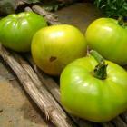Russian Green Tomato