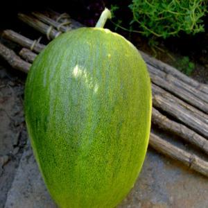 Melon de Murcia Heirloom Spanish Piel de Sapo seed