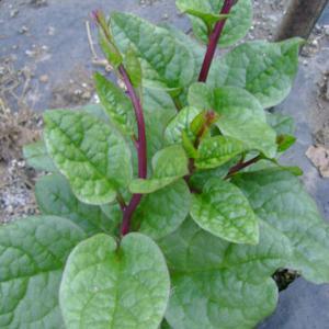 Malabar Climbing Spinach heirloom vegetable seed