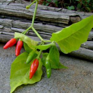 Rat Chili Pepper Seeds Capsicum frutescens