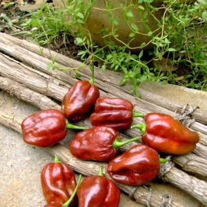 Chocolate Habanero Heirloom Pepper Seeds