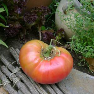 Spanish Giant heirloom tomato