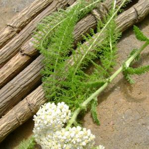 Companion plant herb Yarrow seed